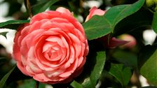 The Middlemist's Red Camellia at Chiswick House by Clare Kendall