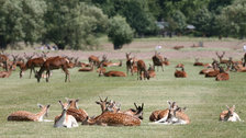 Deer in Summer - © Giles Barnard