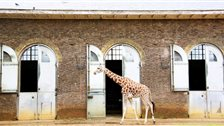 ZSL London Zoo - The Grade II listed Giraffe House, built 1836-7