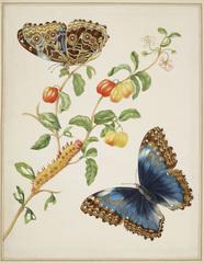 Maria Merians Butterflies - Royal Collection Trust / (c) Her Majesty Queen Elizabeth II 2016