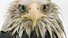 Wildlife Photographer of the Year 2017 - Bold eagle by Klaus Nigge. Finalist, Animal Portraits by Klaus Nigge