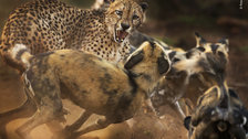 Wildlife Photographer of the Year 2019 - Big cat and dog spat © Peter Haygarth - Wildlife Photographer of the Year